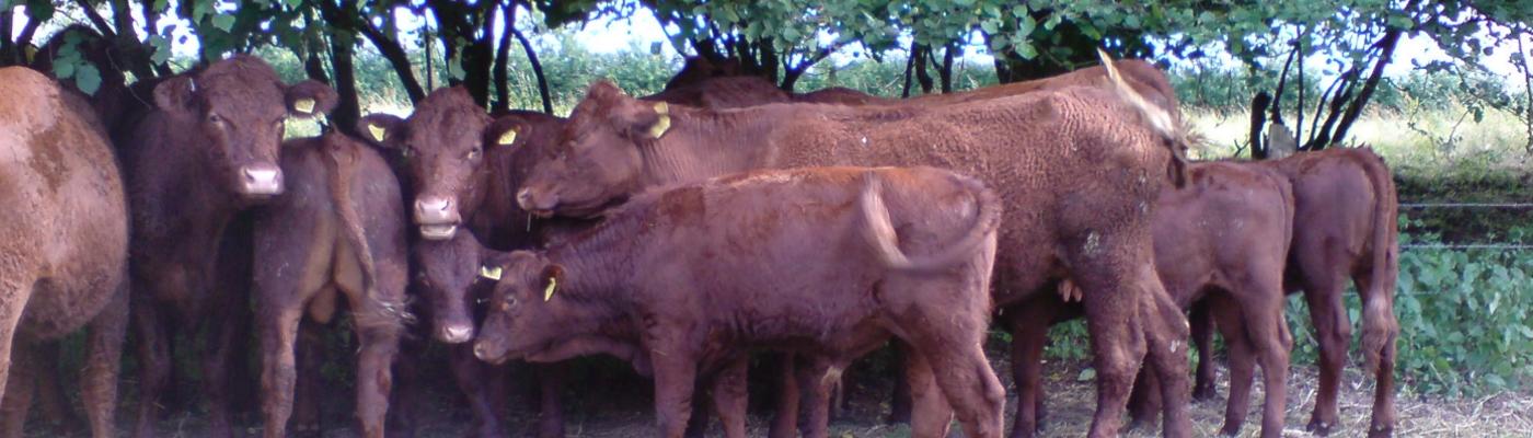 Fleischrinder vom Dalkenhof